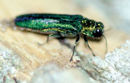 Agri-ohio-gov-adult-emerald-ash-borer